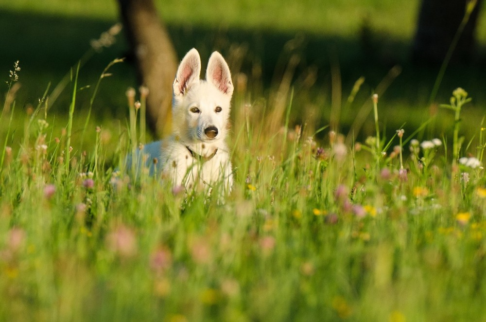 German Shepherd puppy in field
