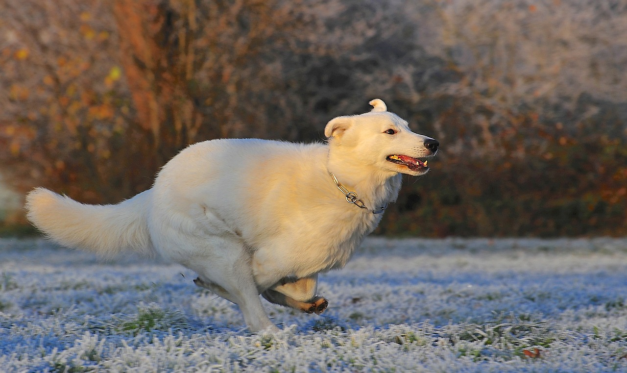 swiss-shepherd-dog-354536_1280