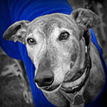 greyhound with blue shirt