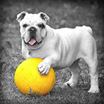 Bulldog with ball